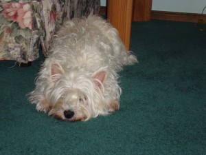 westhighland terrier, lily