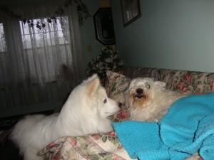 american eskimo dog, west highland terrier