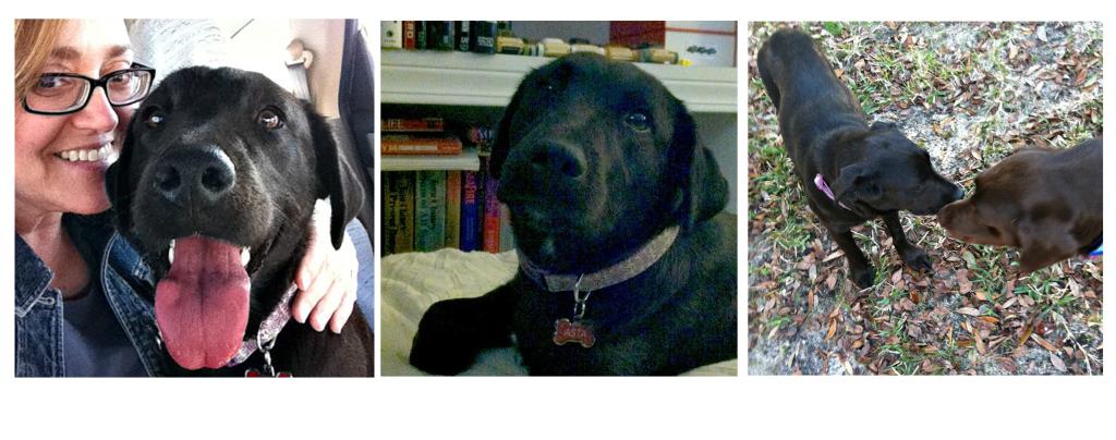 labrador retriever, animal rescue stories